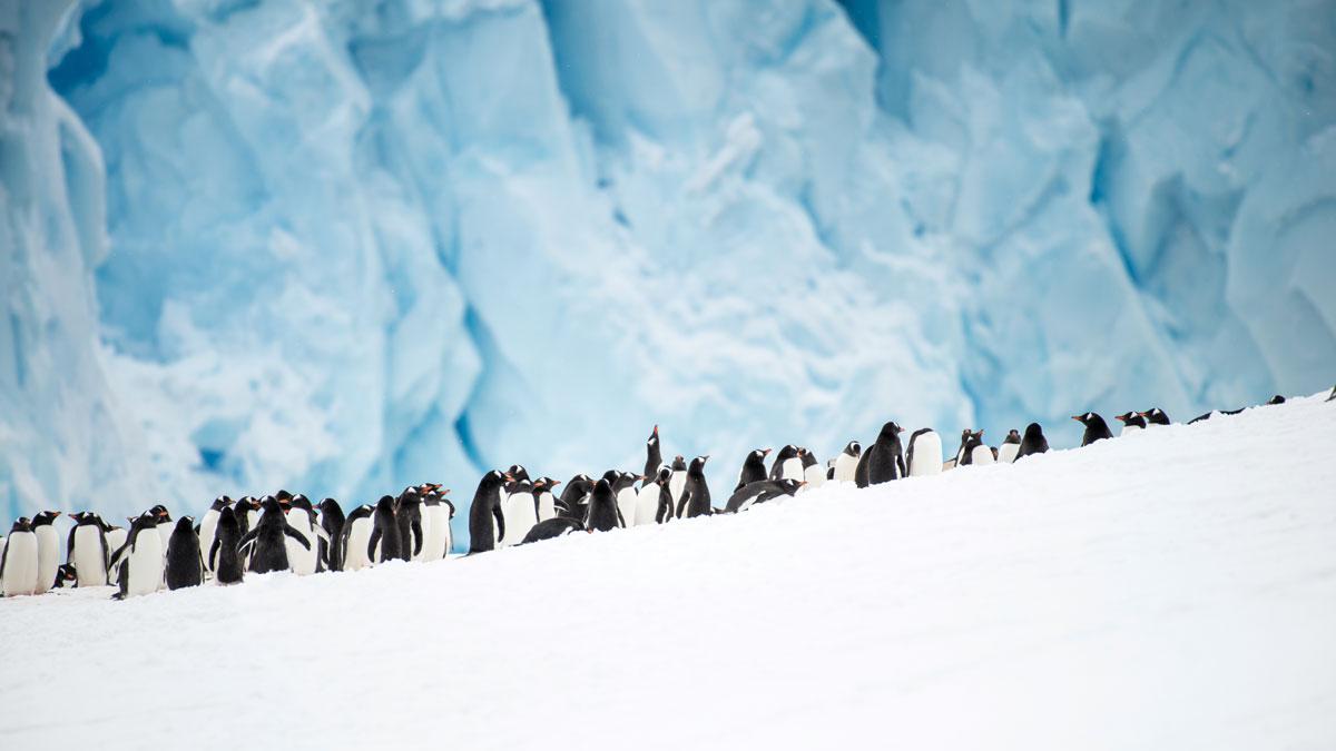 Antarctica_Midnatsol_Neko